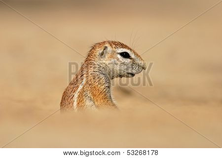 Desert dwelling ground squirrel (Xerus inaurus), Kalahari, South Africa