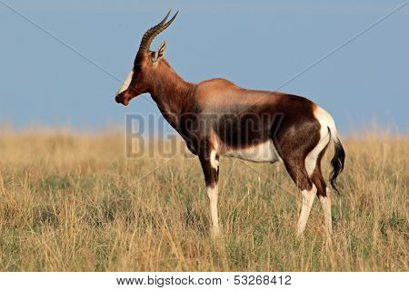 Endangered bontebok antelope (Damaliscus pygargus dorcas), South Africa