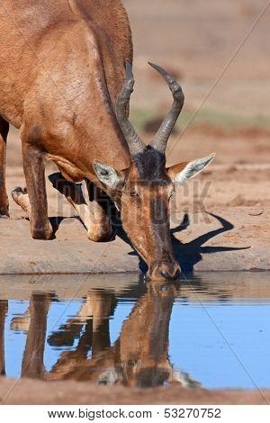 Red hartebeest (Alcelaphus buselaphus) drinking water, South Africa