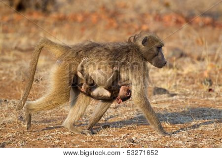 Chacma baboon (Papio hamadryas) with suckling baby, Kruger National Park, South Africa