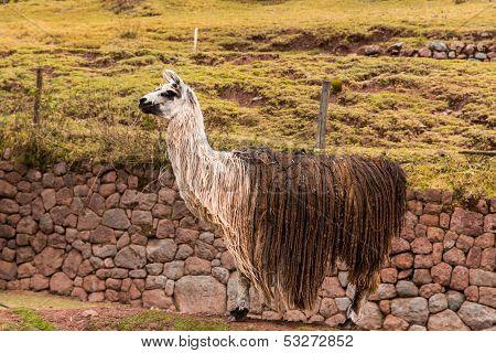 Peruvian  Vicuna. Farm Of Llama,alpaca,vicuna In Peru,south America. Andean Animal.llama Is South Am