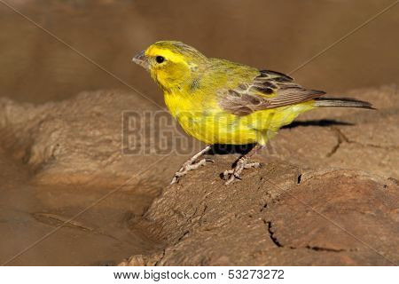 Yellow canary (Serinus mozambicus), Kalahari, South Africa
