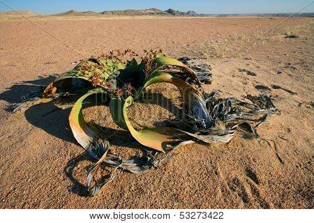 Ancient welwitschia plant (Welwitcshia mirabilis), Namib-Naukluft National park, Namibia, southern Africa