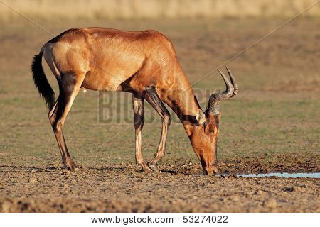 Red hartebeest (Alcelaphus buselaphus) drinking water, Kalahari, South Africa