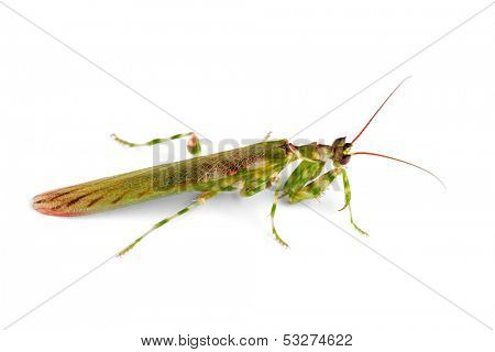 African flower mantid (Harpagomantis tricolor) on white