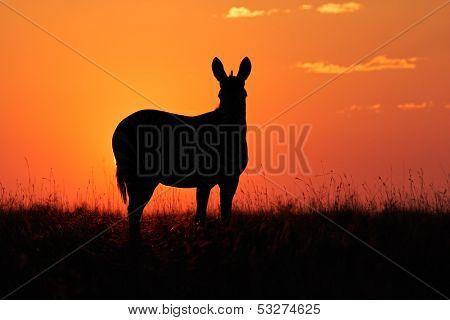 Cape Mountain Zebra (Equus zebra) silhouetted against a red sunrise, South Africa