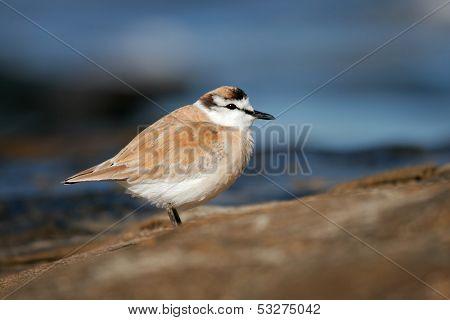 White-fronted plover (Charadrius marginatus) on coastal rocks, South Africa