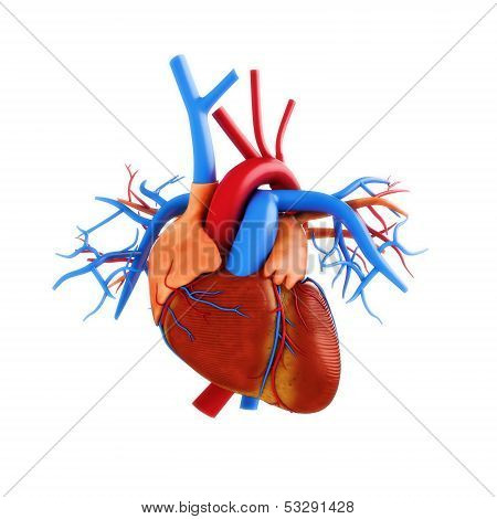 Human heart anatomy illustration on a white background.