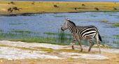 African Wild Zebra. Kenya. Amboseli national park. poster