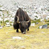 Close up wild yak in Himalaya mountains. India, Ladakh poster
