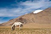 White wild horse at Himalaya mountains landscape. India, Ladakh, altitude 4600m poster