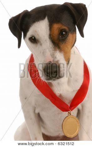 Jack Russel Terrier Wearing Medal