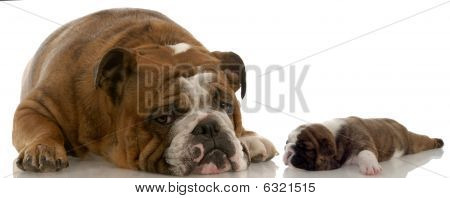 poster of mother and puppy - english bulldog mom and three week old puppy