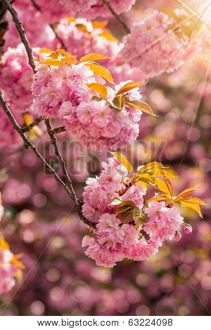 Pink Blossomed Sakura Flowers In Rays