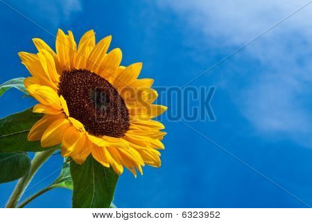 Sun Flower Against A Blue Sky