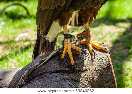The Harris's Hawk or Harris Hawk (Parabuteo unicinctus) formerly known as the Bay-winged Hawk or Dusky Hawk poster