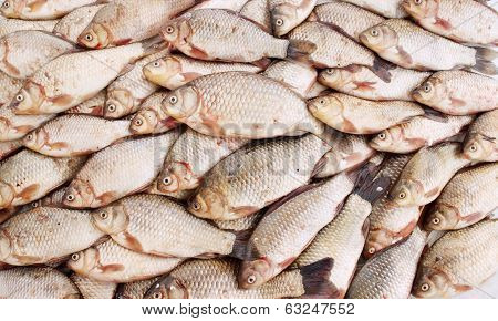 Freshwater fish carp
