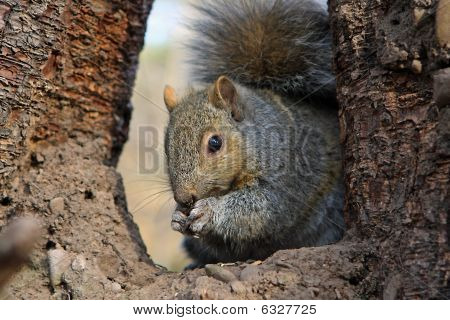 Gray Squirrel Feeding On Seeds In Tree poster