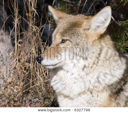 Coyote Hunting For A Mouse In Yellowstone National Park