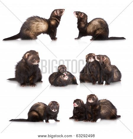 set of ferrets on white background together poster