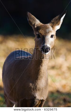 White-tailed Doe (odocoileus Virginianus).