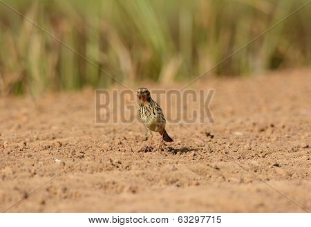 Male Red-throated Pipit (anthus Cervinus)