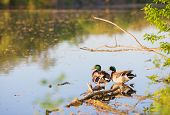 Beautiful male or drake duck swimming on a pond poster