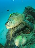 Environmental pollution issue: Turtle lies on old tyres and other underwater rubbish poster