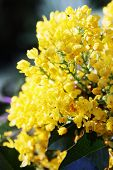 evergreen shrub rhododendron, with small yellow  flowers poster