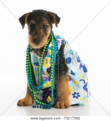 cute airedale terrier puppy wearing dress and necklace on white background poster