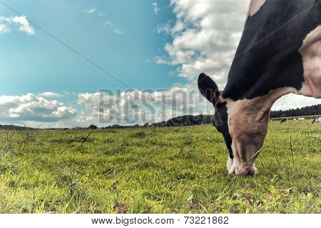 Black And White Cow Grazing At Green Field