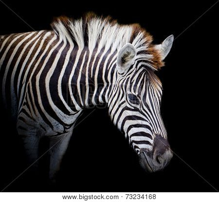A Headshot Of A Burchell's Zebra