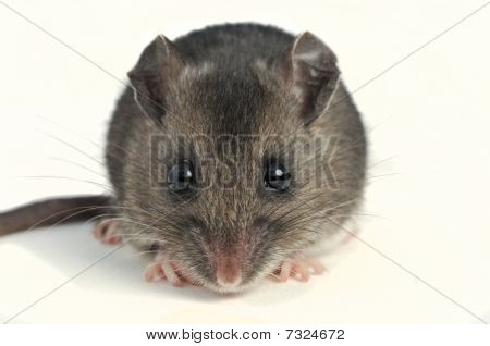 cute deer mouse close up