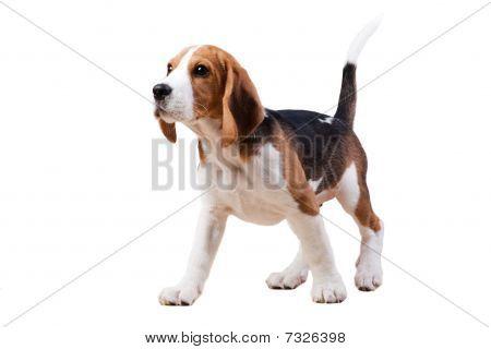 Standing Dog.