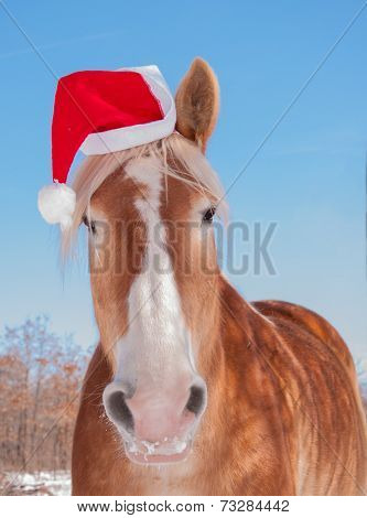 Blonde Belgian draft horse wearing a Santa hat, looking straight at viewer