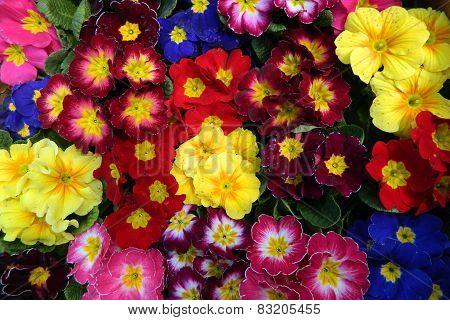 Colorful Bouquets Primrose