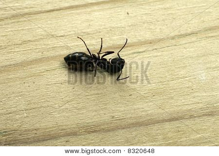 Dead Carpenter Ant