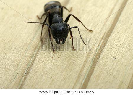 Carpenter Ant Close-up Of Jaws