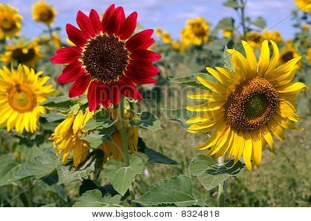 Field  Flower  Sunflower