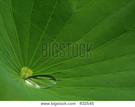 Single Drop Of Water On Lotus Leaf
