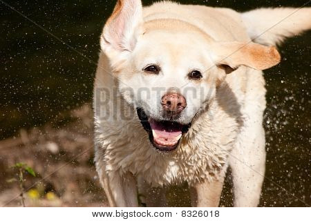 Shaking Happy Labrador Just out of River with Flying Water Droplets poster