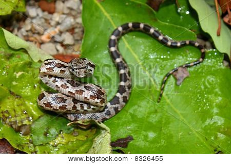 Gray Rat Snake (Elaphe obsoleta)