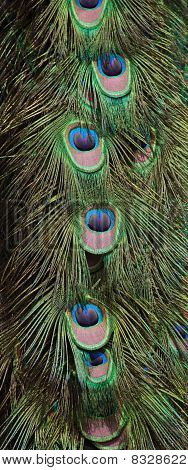A peacock colorful feathers close up image poster