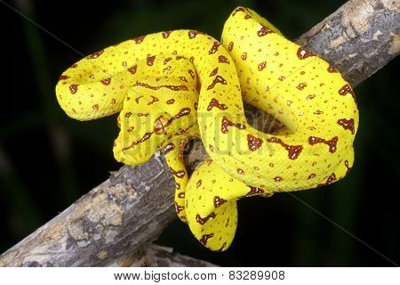 Green Tree Python  (yellow Phase) Hanging From A Branch.