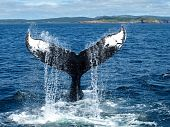 Dorsal Fin of a Humpback Whale in St. John's, Newfoundland, Canada poster