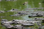 Many alligators in the Everglades. poster