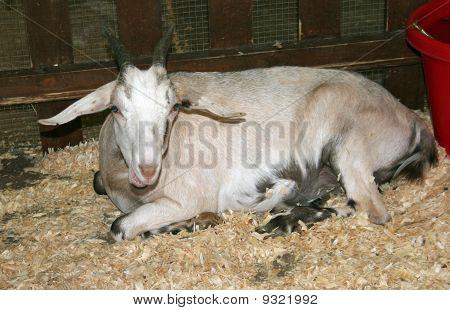 Talking Goat!
