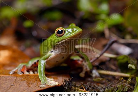 Moltrecht's tree frog