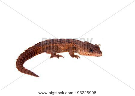 Transvaal Girdled Lizard, Cordylus vittifer, isolated on white background. poster