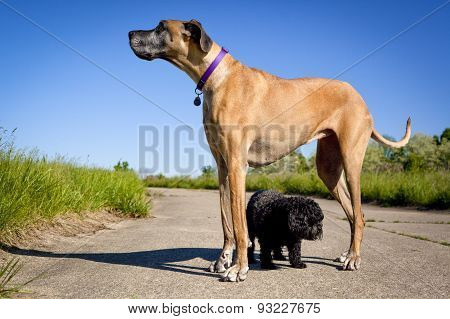 Great Dane standing over little black dog